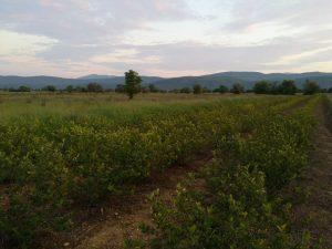 Aronija nasadi Imotski, redovi grmolikih biljaka. U pozadini planina Biokovo.