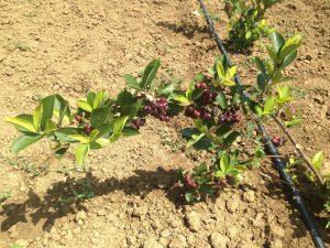 zreli plodovi aronije na grani