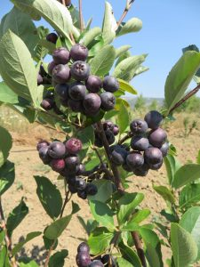 aronija plod na grani sa lišćem